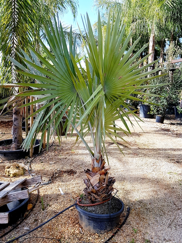 sehr edle Palme von Palmenservice-Mallorca.com