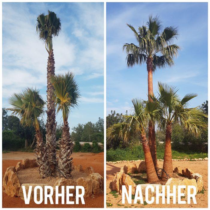 Beschneiden Palme Mallorca