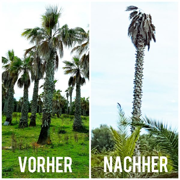 Palmrüssler befällt alle Palmen auf Mallorca