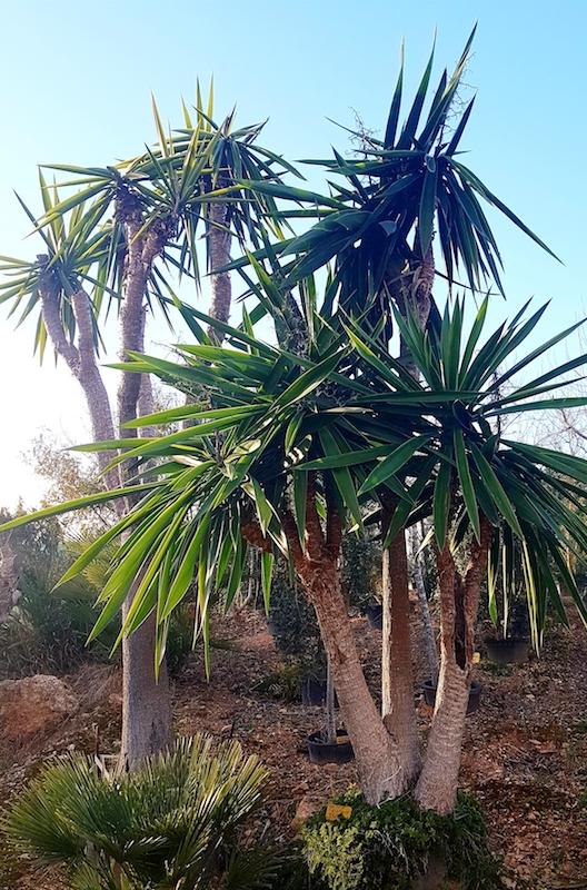 Yucca (Palme)