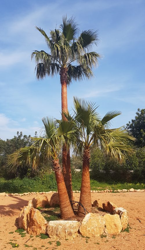 Washingtonia Robusta Gruppe - Gruppierung