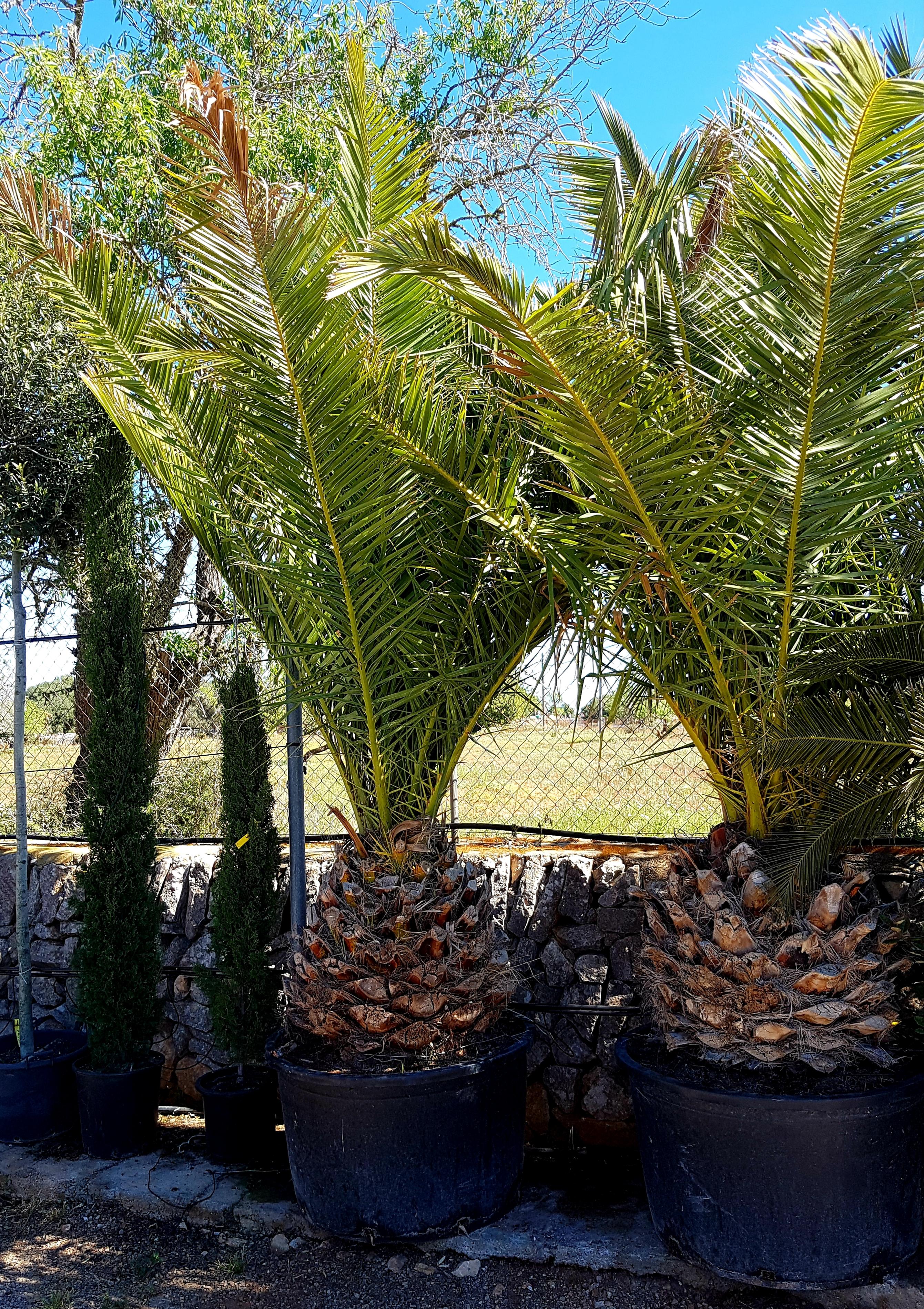 Phoenix Canariensis - Kanarische Dattelpalme von Palmenservice-Mallorca.com