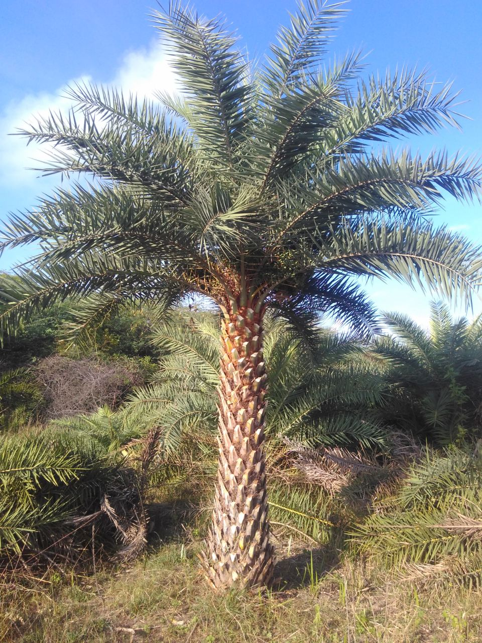 Silberdattelpalme - Phoenix Sylvestris Palmenservice-Mallorca.com