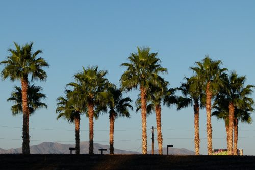 Washingtonia Mitteldickstamm