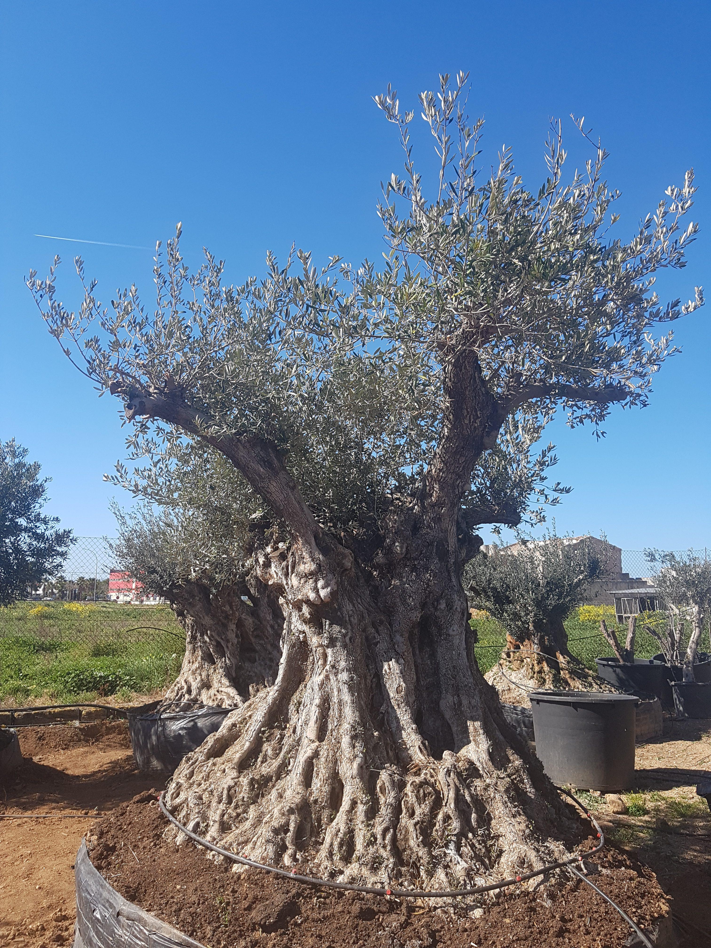 Der Olivenbaum