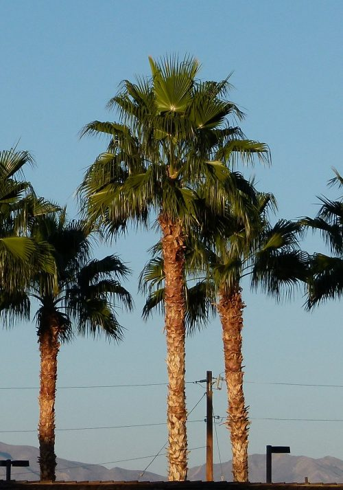 Washingtonia Robusta Palme Mallorca kaufen