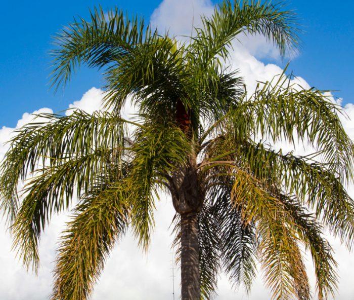 Cocos Plumosa Cocospalme Syagrus Romanzoffianum