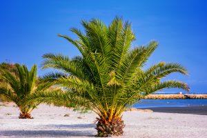 Kanarische Dattelpalme von Palmenservice-Mallorca.com
